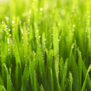 Dew on Green Grass --- Image by © Royalty-Free/Corbis