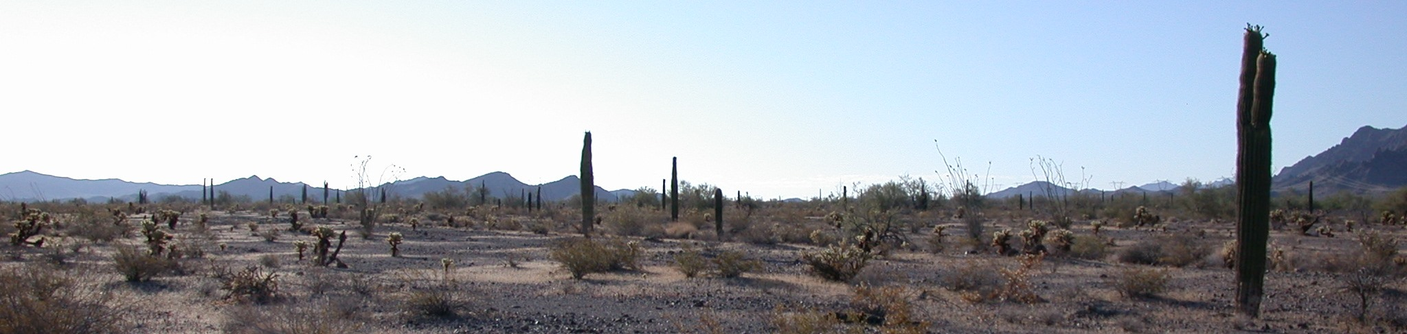Saguaro cacti are the tallest things standing at Kofa National Wildlife Refuge, near Yuma, Arizona. Credit, Taly Drezner.
