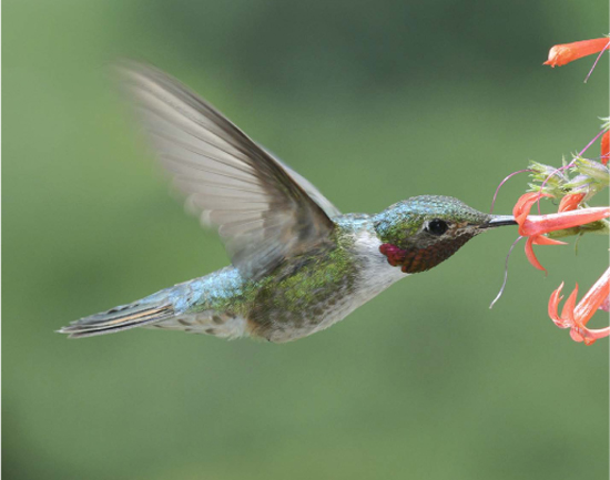 A male broad-tailed hummingbird sips nectar. The phenology of the early-season nectar plants the bird favor is changing more rapidly than the birds, leading to the potential for a mismatch that could affect both birds and their nectar resources. Credit, David Inouye.