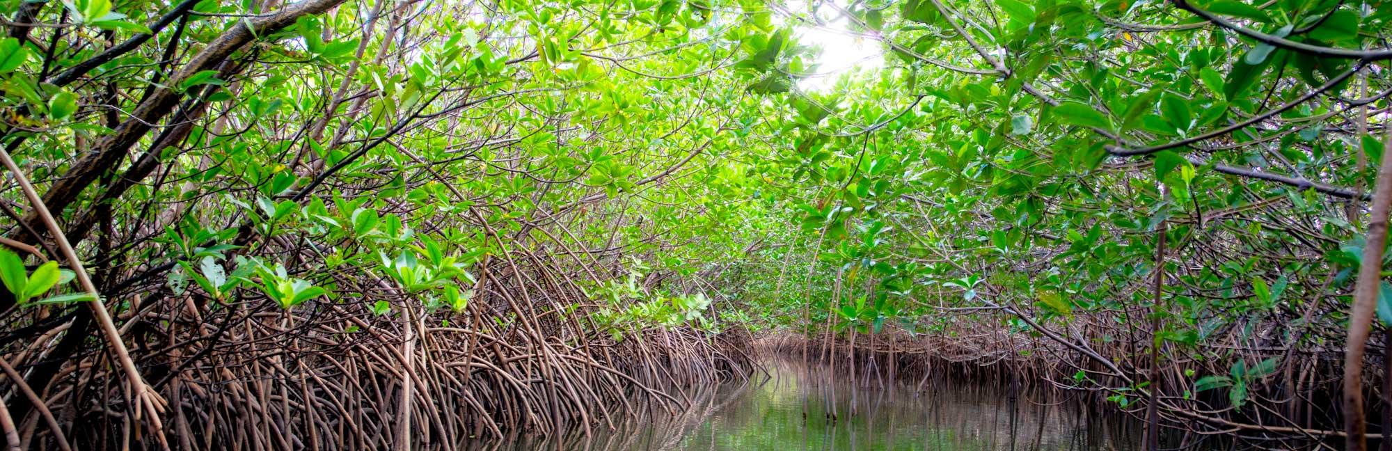 Banner image of a mangrove in juniper inlet.
