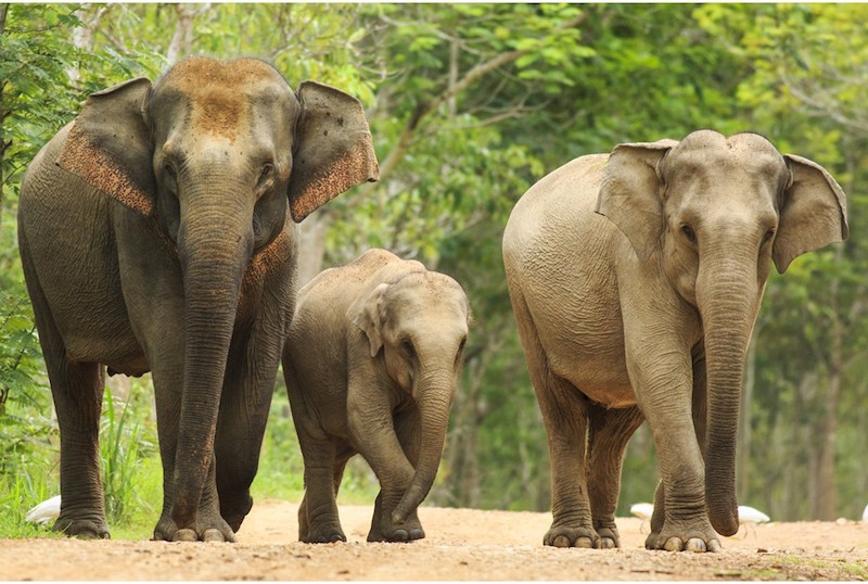 Three elephants walking across a sandy road, with forest in the background. On the left is the biggest elephant, and to her right is a baby. The third elephant is on the baby elephant's right side. All three are looking at the photographer.