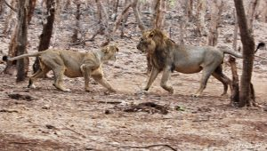 Two lions who look like they're arguing. The female, on the left, is slightly crouched and snarling at the male, on the right. They are in a clearing in a forest, with trunks around them.