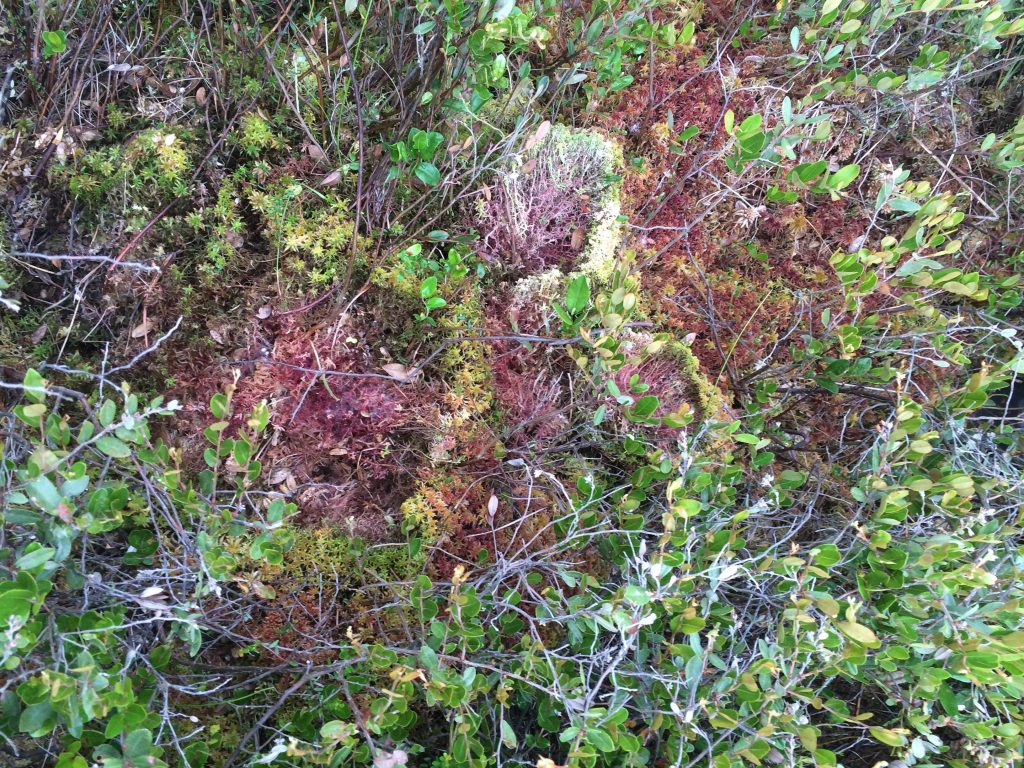 Red sphagnum moss in an open space among a green shrubby canopy of leaves