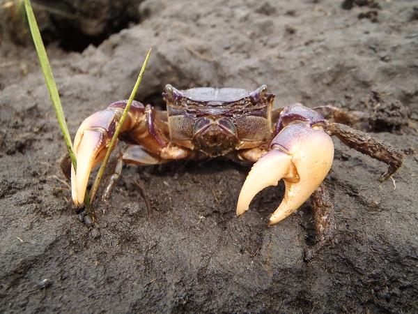 purple marsh crab (<i>Sesarma reticulatu</i>)