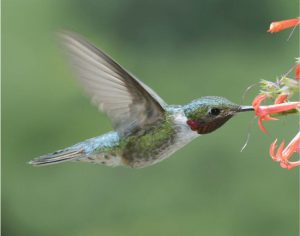 A male broad-tailed hummingbird sips nectar. The phenology of the early-season nectar plants the birds favor is changing more rapidly than the birds, leading to the potential for a mismatch that could affect both birds and their nectar resources. Credit, David Inouye.