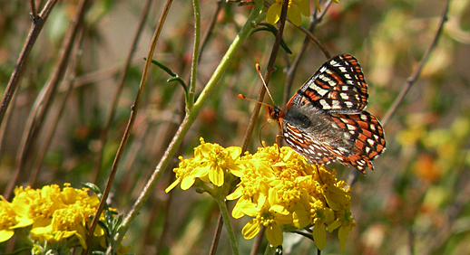 "The Quino Checkerspot Butterfly (Euphydryas editha quino) is federally listed as ""Endangered"" throughout its range in California and New Mexico. Credit, US Fish and Wildlife Service"