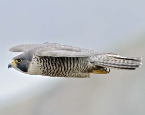 An adult American peregrine falcon soars near her coastal nesting cliff in northern California, USA.  Photo credit: Mary Malec.