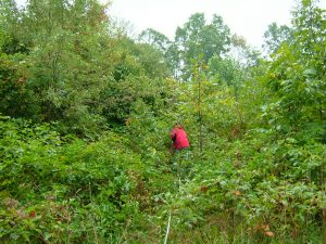 A member of the research team plunges into a stand of young trees, heading for a study plot in a central Pennsylvania forest recovering from recent clear-cutting. Credit, David Lewis.