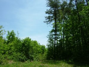 The tall, mature trees of a late-succession forest (right) stand next to young trees, seeded after a clear-cut. The deeper volume of organic matter on the floor of a mature forest can capture more of the nutrient nitrogen when it enters the forest than the clear-cut can. Credit, David Lewis.