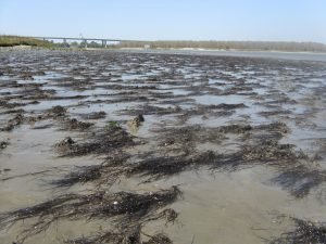 The invasive Gracilaria vermiculophylla seaweed gains a holds on a mudflat in Charleston Harbor, S.C., by clinging to tube-building decorator worms (Diopatra cuprea) rooted firmly in the mud.  The invasive seaweed provides shelter for a small native crustacean. Credit, Erik Sorka.