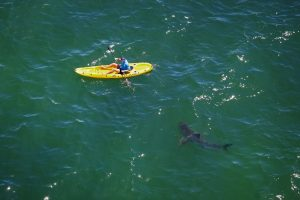 A great white shark (Carcharodon carcharias) approaches a kayaker in Mossel Bay, South Africa. Credit: C & M Fallows/SeaPics.com; used by permission.