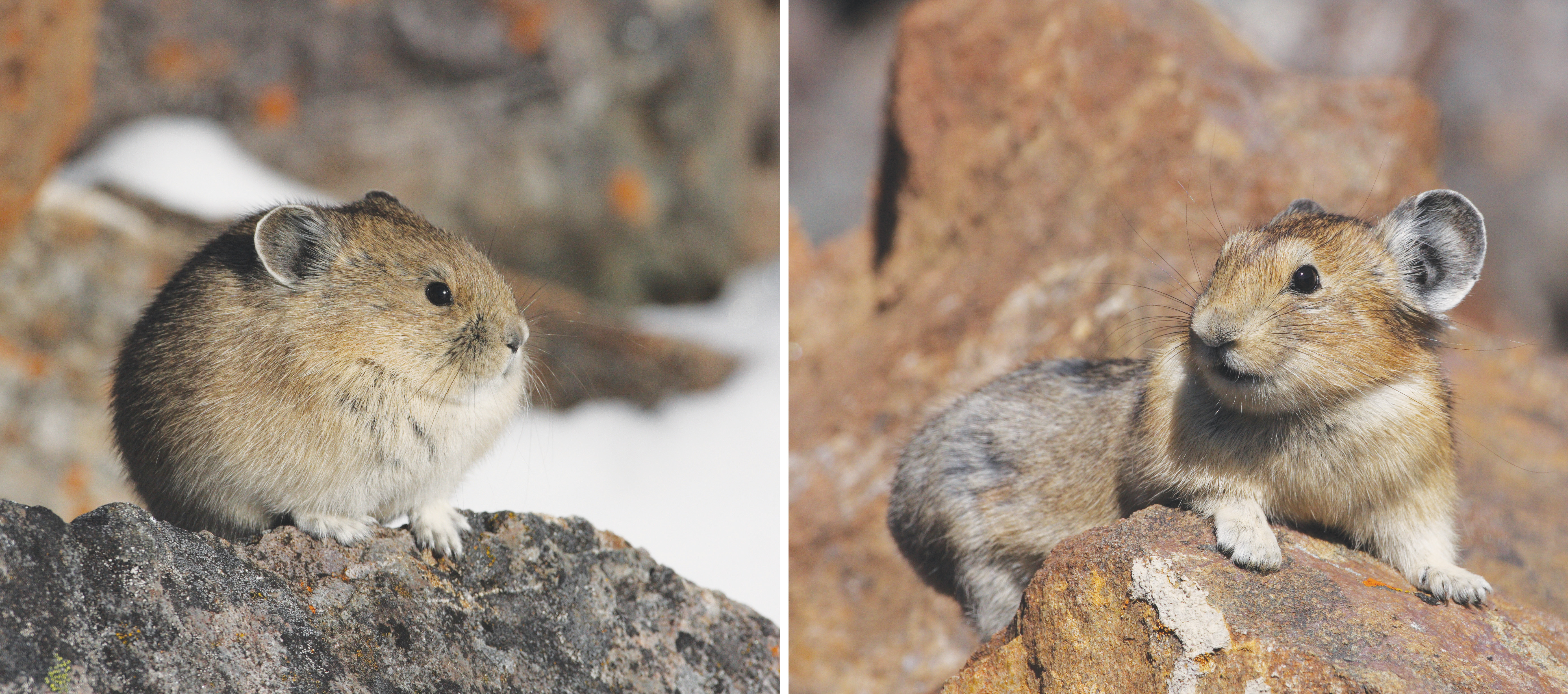 Puff and lounge thermoregulation. American pikas can their moderate body temperature through posture (to some degree), squeezing into a fluffy ball, a body posture with minimum surface area, to hold in heat in winter (left), or stretching out the surface area of their bodies to cool down in summer (right). In recent years, pikas have been observed modifying their foraging habits in ways that may be behavioral adaptations to a changing climate.  Credit, J. Jacobson, from figure 4 of EA Beever et al (2017) Front Ecol Environ doi: 10.1002/fee.1502.