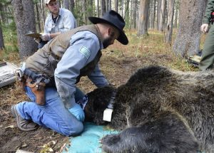 Global Positioning System tracking: Chad Dickinson, a biological science technician with the Interagency Grizzly Bear Study Team, fits a GPS collar on a male grizzly bear in Yellowstone National Park. The authors of the current study used GPS telemetry data from males like this one to predict the behavior and habitat selection of bears exploring landscapes outside the Greater Yellowstone Ecosystem, on journeys that could bring them into contact with breeding grizzly populations in the Northern Continental Divide Ecosystem, and vice versa. Credit: Frank van Manen.