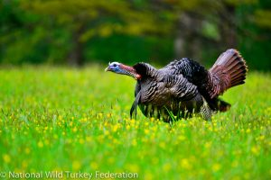 EasternWildTurkey NWTF 12553 300x200 - Return of the native wild turkey—setting sustainable harvest targets when information is limited