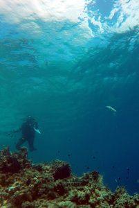 Author Suzanne Alonzo observes spawning sixbar wrasse (Thalassoma hardwicke) off Moorea Island in French Polynesia (17°30′ S, 149°50′ W), 17 kilometers (11 miles) northwest of Tahiti. Credit, Jeffrey Shima.