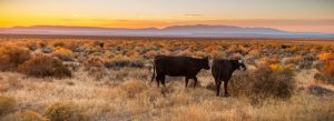 Cattle graze open public rangeland in Malheur County, Oregon, east of Steens Mountain. Credit, Greg Shine/BLM.
