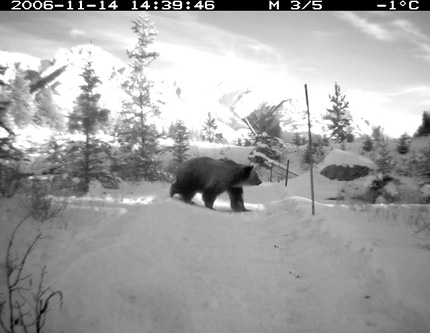 Caught in action by a motion-sensitive camera, a grizzly passes over the Trans-Canada highway on an overpass in Banff National Park.