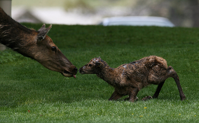 Twenty-five minute old elk calf in Mammoth Hot Springs. Jim Peaco; Yellowstone National Park. June 9, 2010; Catalog #18798d; Original #RD7Y0096.