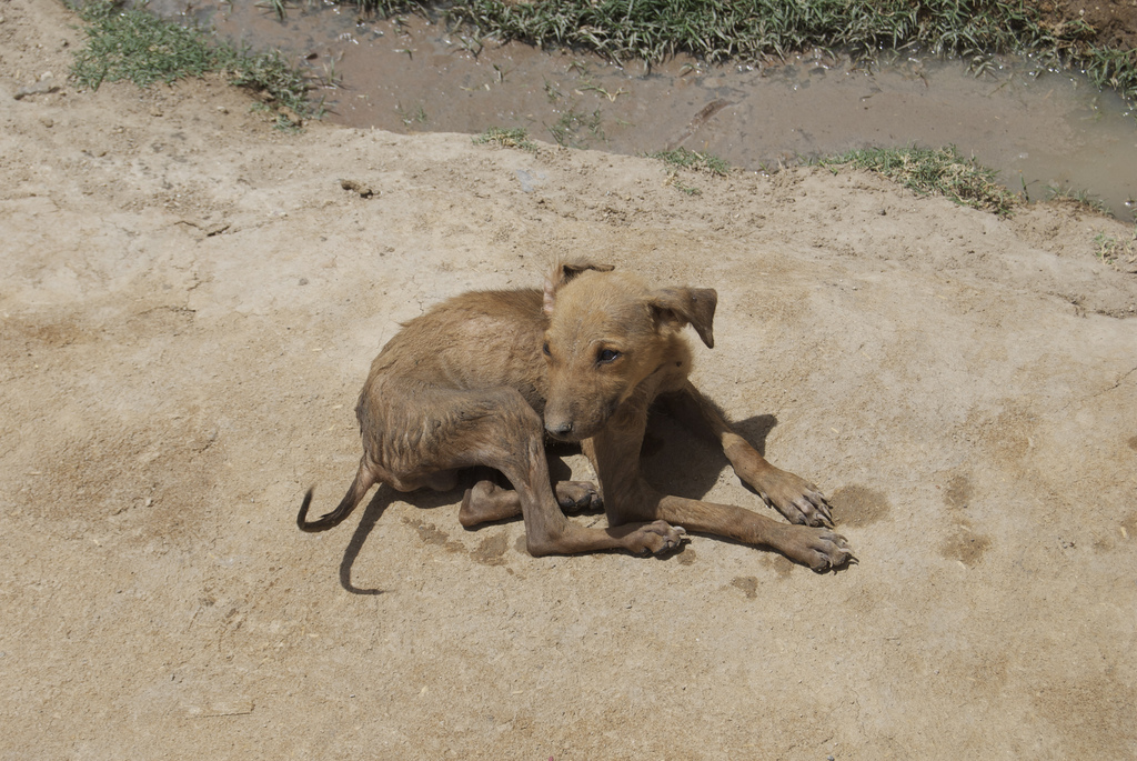 A puppy from a village outside of Jodhpur, India. Credit, Andy Yoak.