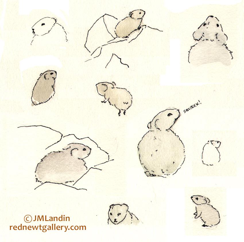 Pika sketch by biological illustrator, Jennifer Landin