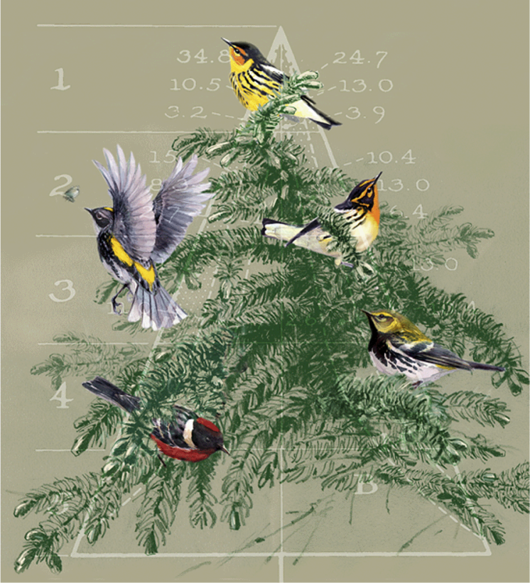 "A classic figure from Robert MacArthur's 1958 paper in Ecology, illustrated with the five warblers he meticulously observed for the study. Clockwise from bottom, bay-breasted (Dendroica castanea), myrtle (D. coronata), Cape May (D. tigrina), blackburnian (D. fusca), and black-throated green (D. virens) warblers. Micheal Kaspari commissioned <a href=""http://harvardforest.fas.harvard.edu/ghosts/kaspari-bio"" target=""_blank"">Deborah Kaspari</a> to create this <a href=""http://faculty-staff.ou.edu/K/Michael.E.Kaspari-1/Warbler.html"" target=""_blank"">mixed media</a> work by and by for publication in the October 2008 issue of ESA's <em><a href=""http://onlinelibrary.wiley.com/doi/10.1890/0012-9623(2008)89%5B448:KYWTOT%5D2.0.CO;2/full?2/full"" target=""_blank"">Bulletin</a></em>. CC-BY-SA"