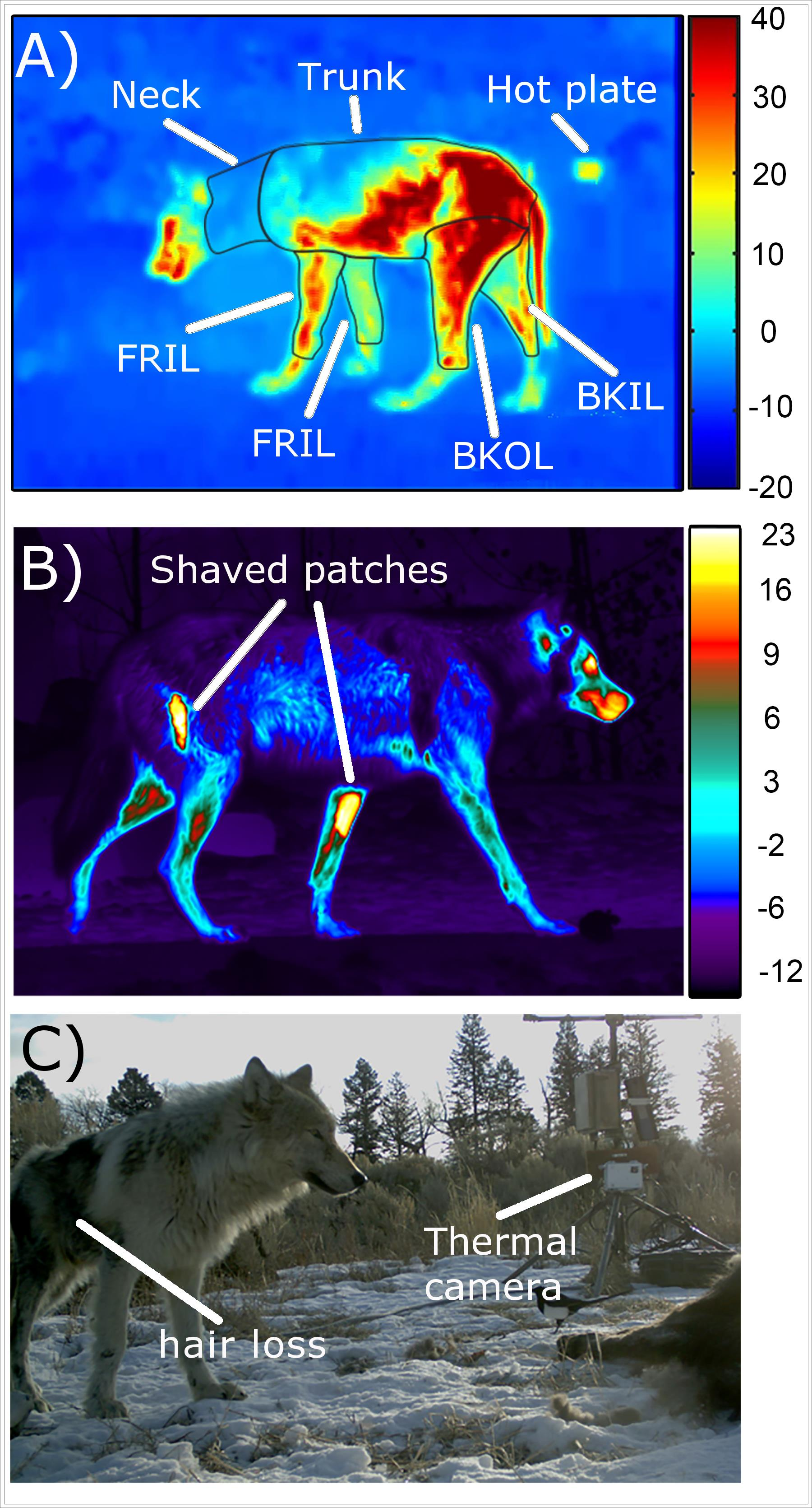 Fig. 1. Thermal imagery of field (A) and captive (B) wolves showing the delineation of some body regions (FROL = front outer leg, FRIL = front inner leg, BKOL = back outer leg, BKIL = back inner leg) as well as the shaved patches on captive wolves. The remotely triggered thermal camera and weather station are shown in (C). Both the wolves in panels A and C were infected with mange. Credit, Ecological Society of America.