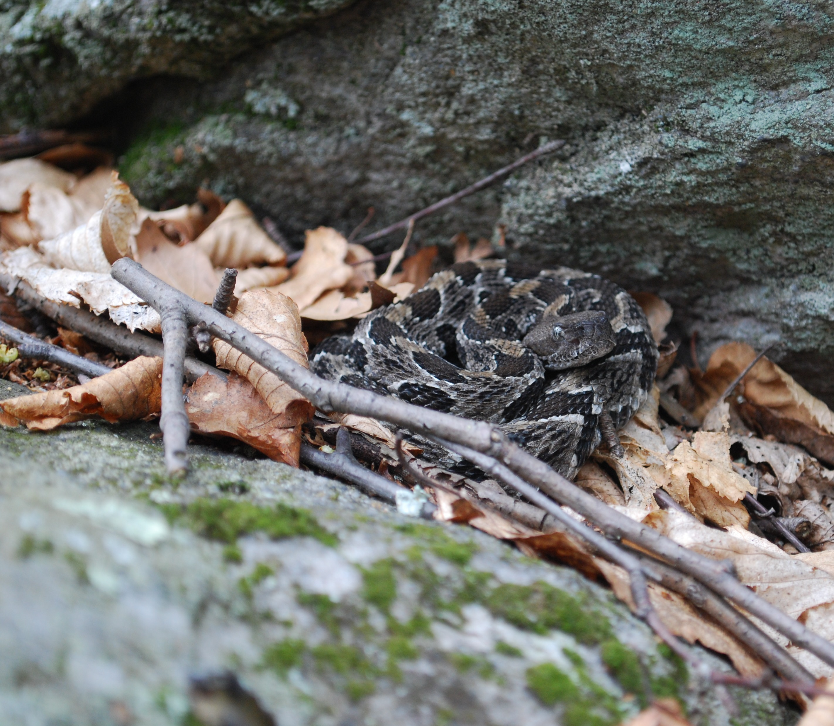 Timber rattlesnake. Credit: Ed Kabay
