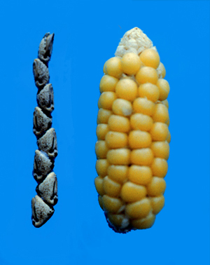 "George Beadle crossed an Argentine popcorn varietal with teosinte (left) and selected the smallest progeny to create a 'reconstructed' ear of ancient maize(right). Beadle, a winner of the Nobel Prize in 1958 for his work uncovering the expression of genes as enzymes, had posed the ""teosinte hypothesis"" in his youth, and spent his retirement on an elaborate crossbreeding project to persuade skeptics that maize was domesticated from teosinte, producing evidence of selection on as few as four or five major genes. Genetic sequencing of Zea mays has confirmed his hypothesis. Credit, John Doebley."