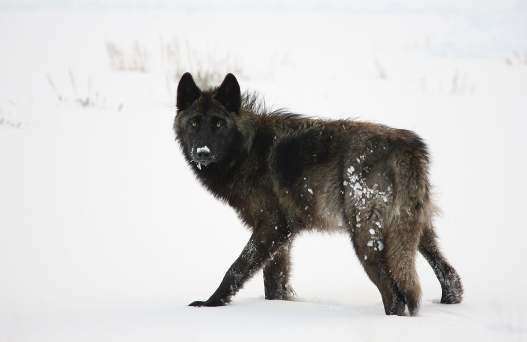 A grey wolf (Canus lupus) in the Lamar Valley, April 2009. Credit, Jim Peaco, Yellowstone National Park.