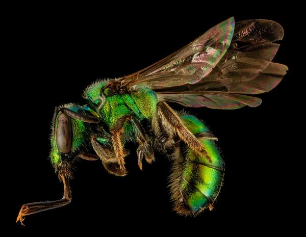 """A lovely <a href=""""http://entnemdept.ufl.edu/creatures/misc/bees/anthophora_abrupta.htm"""" target=""""_blank""""><em>Augochlora pura</em></a> extends part of its tongue. <em>A. pura</em> is a member of the relatively short-tongued Halictidae family, uprettily known as the sweat bees. The small, solitary bee is one of the most common bees of forests and forest edges in the eastern United States, and a promiscuous attendant to many flower species. Collected by Phillip Moore in Polk County, Tennessee. <i>Photograph by Phillip Moore. Photo courtesy of the <a href=""""https://flic.kr/p/kNBuWH"""">USGS Bee Inventory and Monitoring Lab</a></i>."""