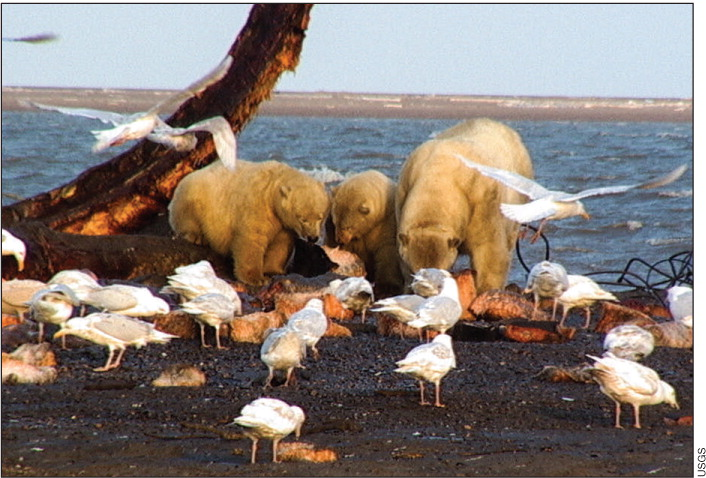 When polar bears (Ursus maritimus) meet glaucous gulls (Larus hyperboreaus) over the remains of a bowhead whale (Balaena mysticetus), they may be sharing more than a meal. As the warming climate brings animals into new proximity, parasites, viruses, and bacteria can find opportunities to spread to new and naïve hosts, sometimes jumping from birds to mammals, and from marine ecosystems to land ecosystems. Photo credit, USGS.
