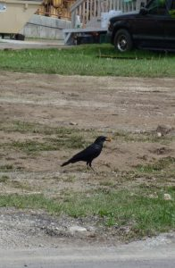 American crow (Corvus brachyrhynchos), with Cheeto. Jackson Hole, Wyoming. Credit, Rhea Esposito.