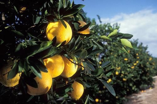 florida oranges USDA flickr