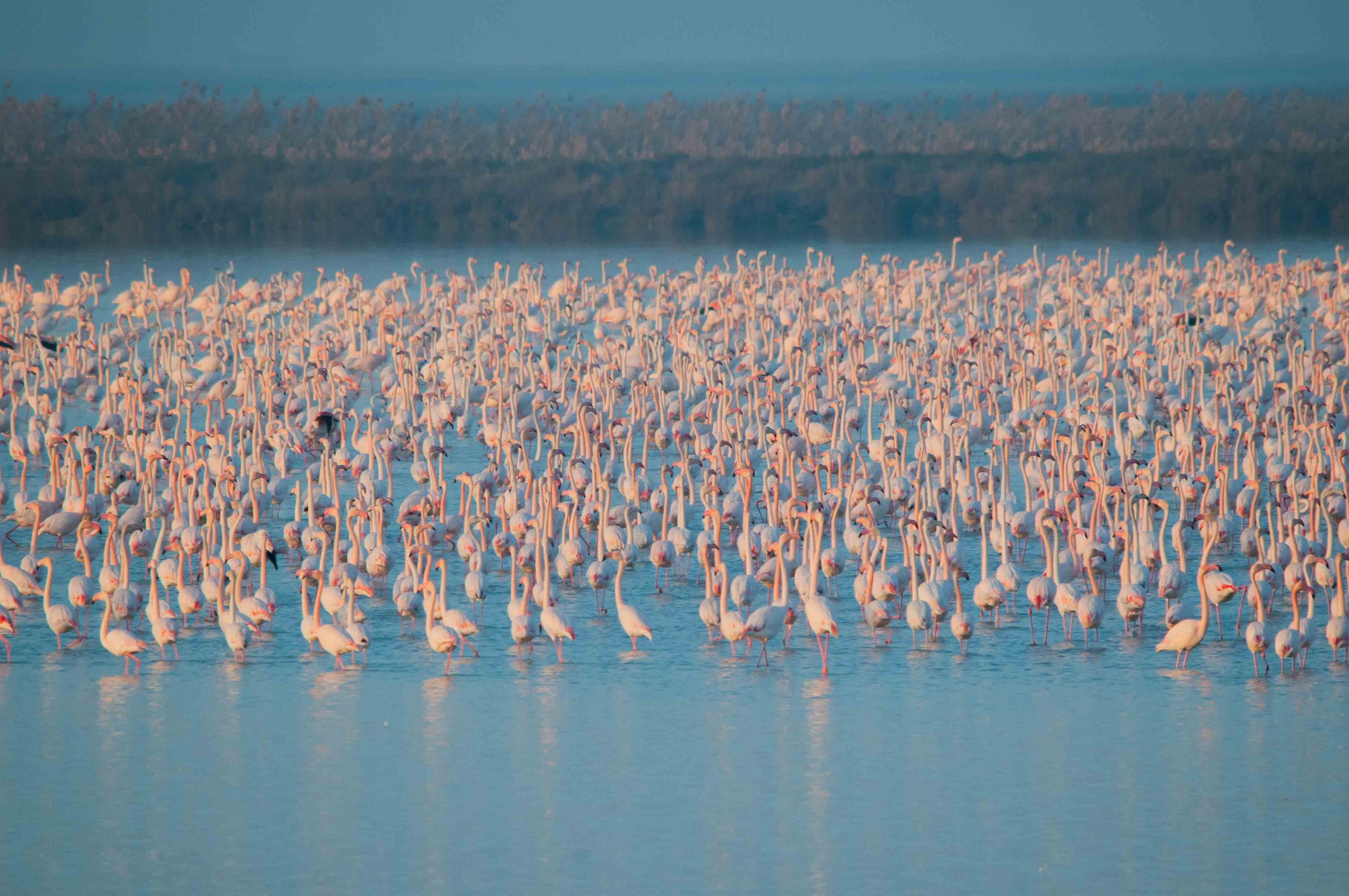 A flock of greater flamingos in the Doñana wetlands, where up to 30,000 are recorded, making them a major ecotourism attraction. Doñana is Europe's most important wetland for waterfowl. Credit: Rubén Rodríguez, EBD-CSIC