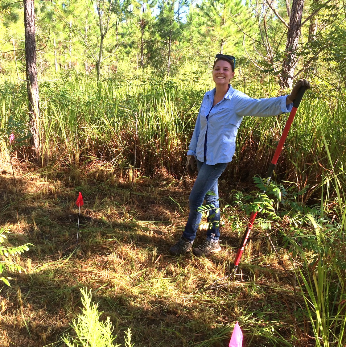 Julienne NeSmith removes exotic cogongrass (Imperata cylindrica) to test effects of the invader on pine tree performance across an environmental gradient at an experimental site near Archer, Florida, in October 2014. Credit: Luke Flory.