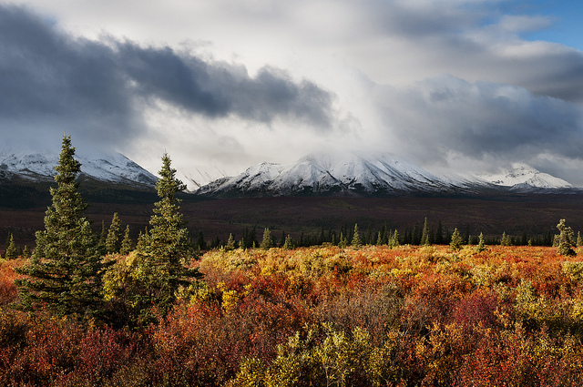 Reds and golds of Fall. Broadleaf shrubs flame around the ever-green of conifers in the Toklat basin ecoregion of Denali National Park. Credit, Tim Rains, Denali National Park and Preserve, 2011.