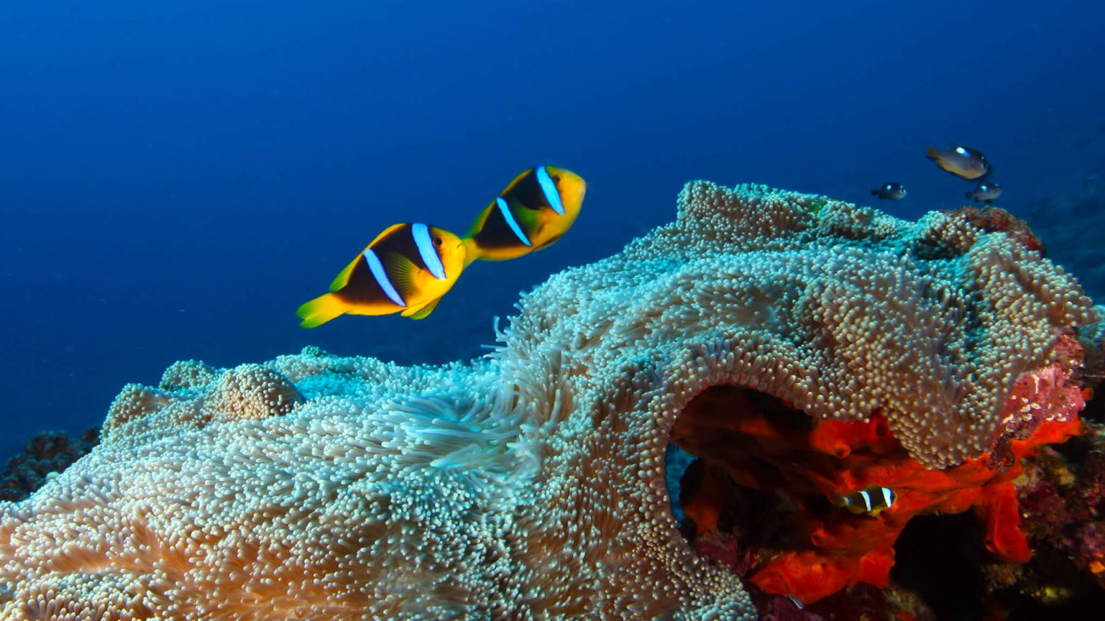 Two fish swim over a reef.