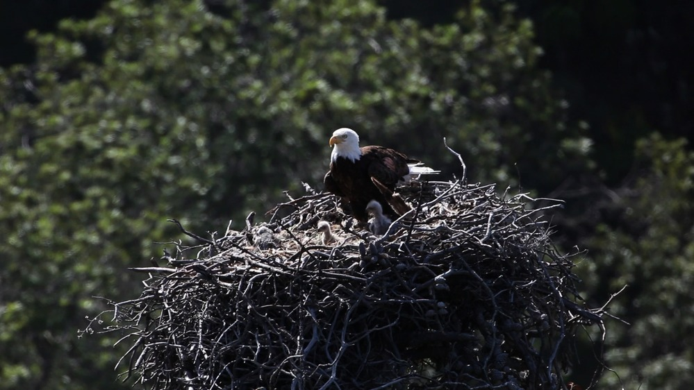 An Eagle in the Channel Islands, west of Long Beach, California, sits atop a nest.
