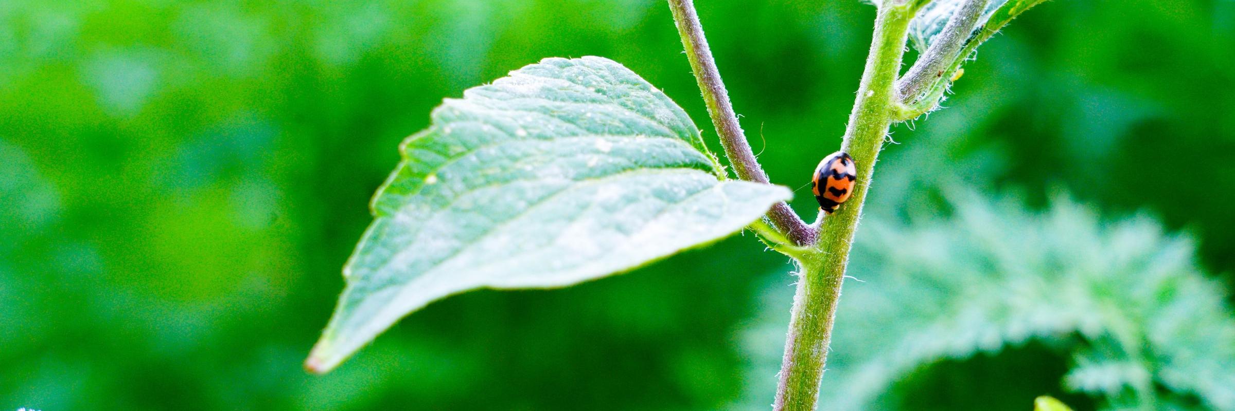 A lady bug crawls along a green leaf.