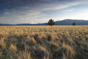 Butte Valley, image of grasslands with two trees in background