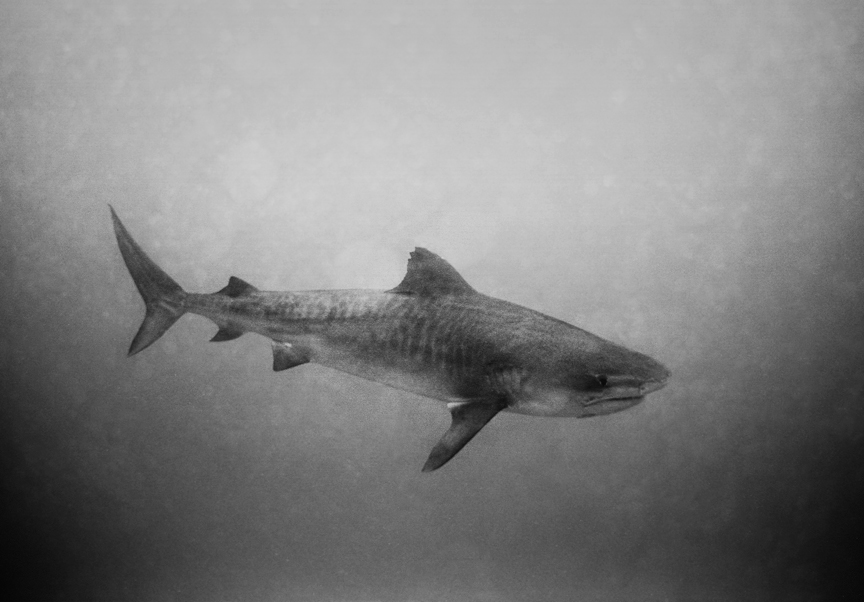 A tiger shark (Galeocerdo cuvier) photographed by Wayne Levin in Hawaiian waters.