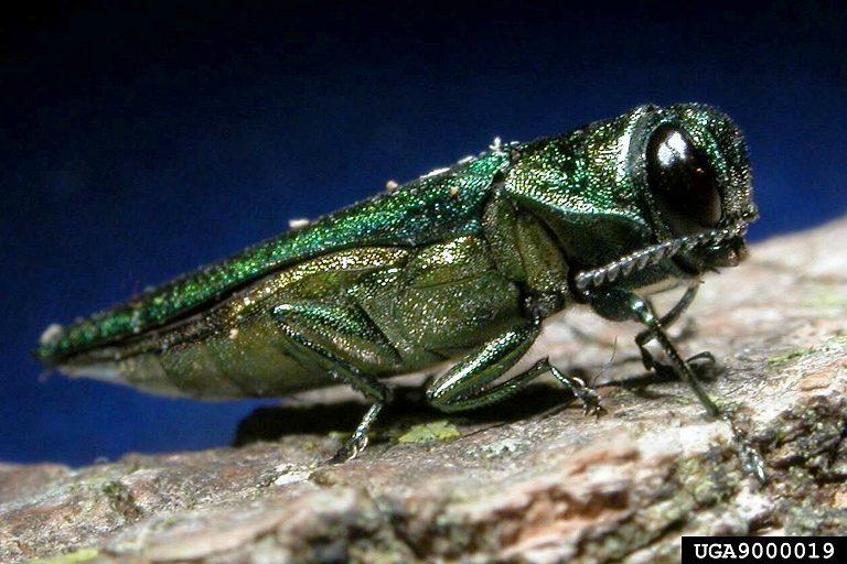 An adult emerald ash borer (Agrilus plantipenis). Credit, K Oten.
