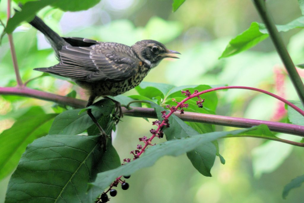 Is a robin eating backyard pokeweed berries a welcome visitor or weed-spreading nuisance? Credit, C. Whelan.