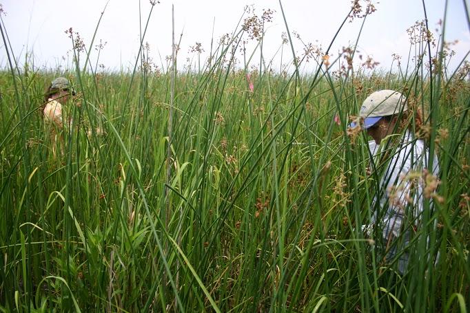 big cordgrass saltmarsh