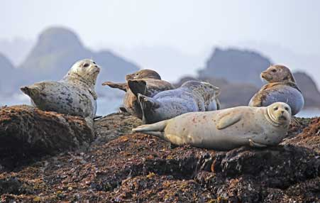 A population of seals lay atop a seaward facing rock.
