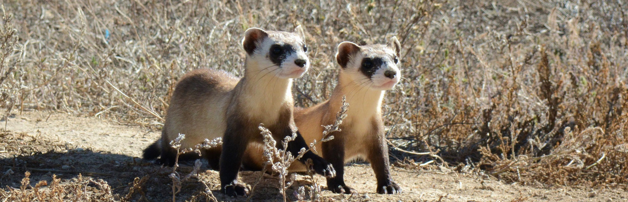Black Footed Ferret - What Is Ecology?