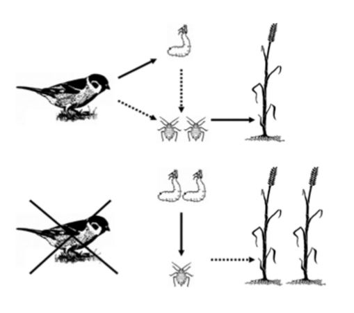 Figure 1 The agricultural food web of our experiment. Arrows indicate the direction from the consumer to the prey. Dashed arrows indicate weak effects, full lines and doubled organisms indicate strong effects. For further explanations see text.