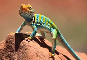 A multi-color reptile stands atop a red clay mound.
