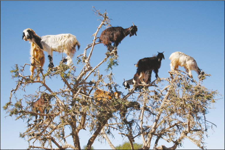 Goats grazing on an argan tree in southwestern Morocco. In the fruiting season, many clean argan nuts are spat out by the goats while chewing their cud. H Garrido/EBD-CSIC