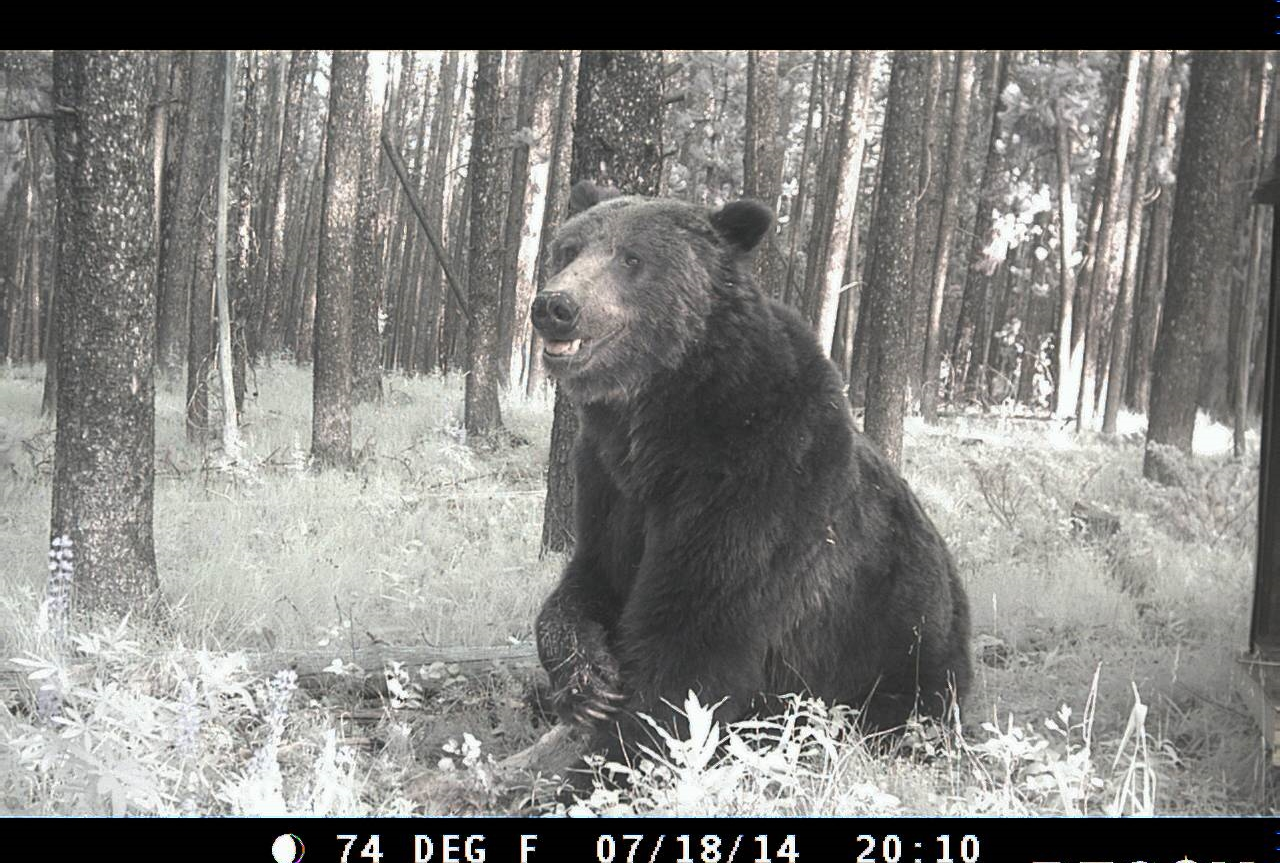 A male grizzly bear caught on remote camera in Beaverhead-Deerlodge National Forest in Montana on 18 July 2014. The site is within northwestern lobe of the Yellowstone Greater Ecosystem, the Yellowstone bears' occupied range. Remote camera traps are one way to verify sightings of grizzly bears exploring new landscapes, outside of the occupied range. Credit: USGS-IGBST